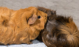 Guinea pigs snuggling Stock Images