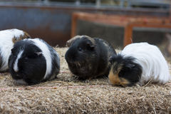 Guinea pigs. Group of guinea pigs on a straw bale stock photo