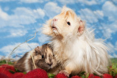 Guinea pigs on strawberries. Two sweet guinea pigs on strawberries Stock Image