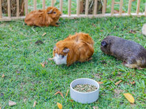 Guinea pigs Stock Photography