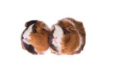 Guinea pigs Stock Image