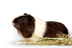 Guinea pigs on a white background. With hay Stock Images