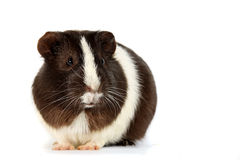 Guinea pigs on a white background Stock Photography