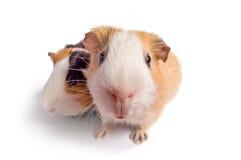 Guinea pigs. On white background stock photos