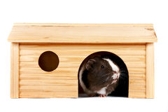 Guinea pigs in a wooden small house. On a white background Stock Photos