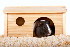 Guinea pigs in a wooden small house. On sawdust on a white background Stock Photography