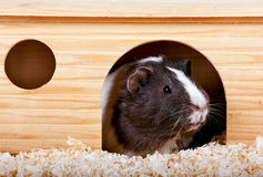 Guinea pigs in a wooden small house. On sawdust Royalty Free Stock Photography