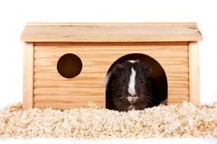 Guinea pigs in a wooden small house Royalty Free Stock Image