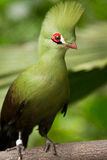 Guinea Turaco. (Livingstone's), Senegal, Africa Stock Photography