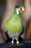 Guinea Turaco Arkivfoton