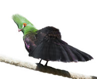 Guinea turaco Arkivfoto