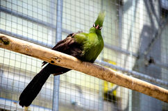 Tropical Green Bird (Guinea Turaco) looking Royalty Free Stock Photos