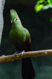 The Guinea Turaco Stock Photography