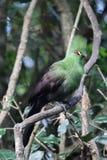 Guinea Turaco (Tauraco persa) Stock Images