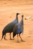 guineafowl秃鹰似肯尼亚的samburu 图库摄影