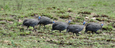 Guineafowl Stock Photography