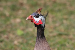 Guineafowl Stock Image