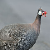 Guineafowl Images stock