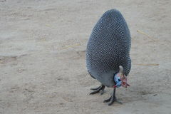 Guineafowl Fotografia de Stock Royalty Free