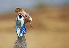 Guineafowl Royalty Free Stock Photography