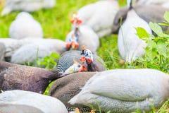 Guineafowl Fotografia Stock