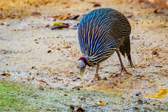 Guineafowl. An adult Guineafowl looking for Food on the ground Royalty Free Stock Images