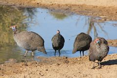 Guineafowl - African Wild Birds - Helmeted Wild Chickens Stock Images