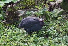 Guineafowl con casco Fotografía de archivo
