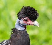 Guineafowl con cresta Fotos de archivo libres de regalías