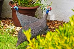 Guineafowl due con le teste rosse e blu luminose immagini stock
