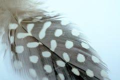 Guineafowl empluma-se com pontos e fluff brancos em um backgr branco fotografia de stock