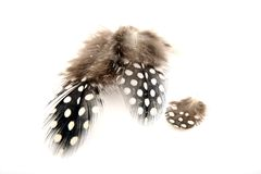 Guineafowl Feathers. With white spots and fluff Stock Image