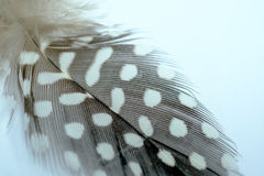 Guineafowl feathers with white spots and fluff on a white backgr Stock Photography
