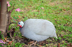 Guineafowl or Guineahen in garden Royalty Free Stock Photography
