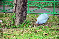 Guineafowl or Guineahen in garden Stock Photography