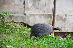 Guineafowl or Guineahen in garden royalty free stock images