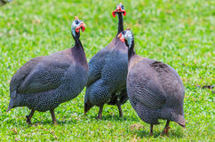 Guineafowl Royalty Free Stock Photo