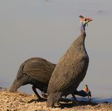 Guineafowl, Helmeted - Red and Blue Royalty Free Stock Photos