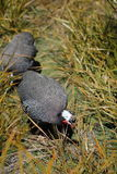 Guineafowl Hen. The guineafowl sometimes called guineahen) are a family of birds in the Galliformes order stock photo