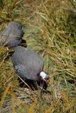 Guineafowl karmazynka Zdjęcie Stock