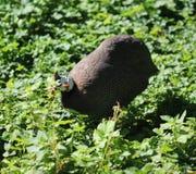 Guineafowl munito di casco Fotografia Stock
