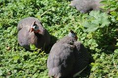 Guineafowl munito di casco Fotografia Stock Libera da Diritti