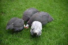 Guineafowl munito di casco, meleagris del Numida fotografia stock libera da diritti