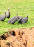 Guineafowl (Numida meleagris) walking. On the grass Stock Images
