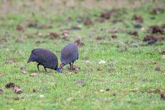 Guineafowl or Numida meleagris Royalty Free Stock Photos