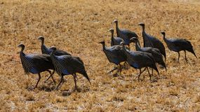 Guineafowl birds on the ground in Africa. Guineafowl pet speckled hen bird, or `original fowl` guineahen domestic bird of the family Numididae in the order Royalty Free Stock Photo