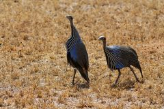 Guineafowl birds on the ground in Africa. Guineafowl pet speckled hen bird, or `original fowl` guineahen domestic bird of the family Numididae in the order Royalty Free Stock Image