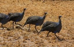 Guineafowl birds on the ground in Africa. Guineafowl pet speckled hen bird, or `original fowl` guineahen domestic bird of the family Numididae in the order Royalty Free Stock Images