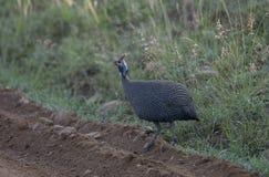 Guineafowl protegido com capacete em Masai Mara, Kenya, África imagens de stock royalty free