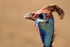 Guineafowl protegido com capacete (meleagris do Numida) Foto de Stock